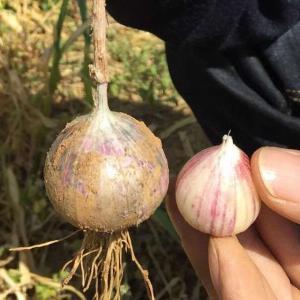Buy cheap China Fresh Single Clove Purple Solo Garlic 3.5cm 10kg Carton product