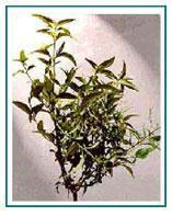 Buy cheap Andrographis paniculata product