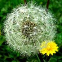 Buy cheap Dandelion Extract product