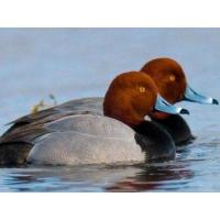Buy cheap Full Body Goose Decoy from wholesalers