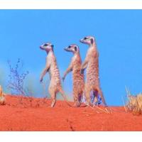 Buy cheap 5B69 Meerkats, a family on the lookout for both danger and food. (for 6 cards) product