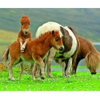 Buy cheap 5B68 Shetland Ponies, grazing adults with playful young. (for 6 cards) product