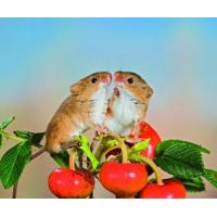 Buy cheap 5B72 Harvest Mice, just being friendly. (for 6 cards) product