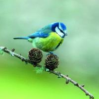Buy cheap Birthday 6B123 Blue tit on cones (for 6 cards) product